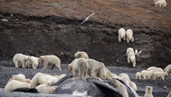 El cambio climático provoca un deshielo más temprano y empuja a las poblaciones de osos polares a pasar más tiempo en tierra firme y a acercarse cada vez más a los pueblos, algo peligroso. (Foto: AFP)
