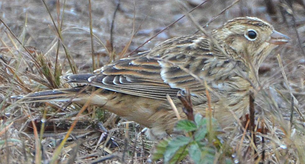El escribano de Smith, descubierto por el naturalista estadounidense John Audubon, se reproduce en el norte de Canadá y Alaska. (Foto: Wikimedia Commons)