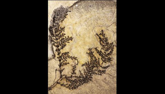 Esta planta con flor tiene de 125 a 130 millones de años