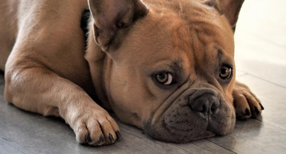 Un bulldog francés se convirtió en una sensación viral en redes sociales por su peculiar reacción al enterarse que estaba a dieta. (Foto: Pixabay/Referencial)