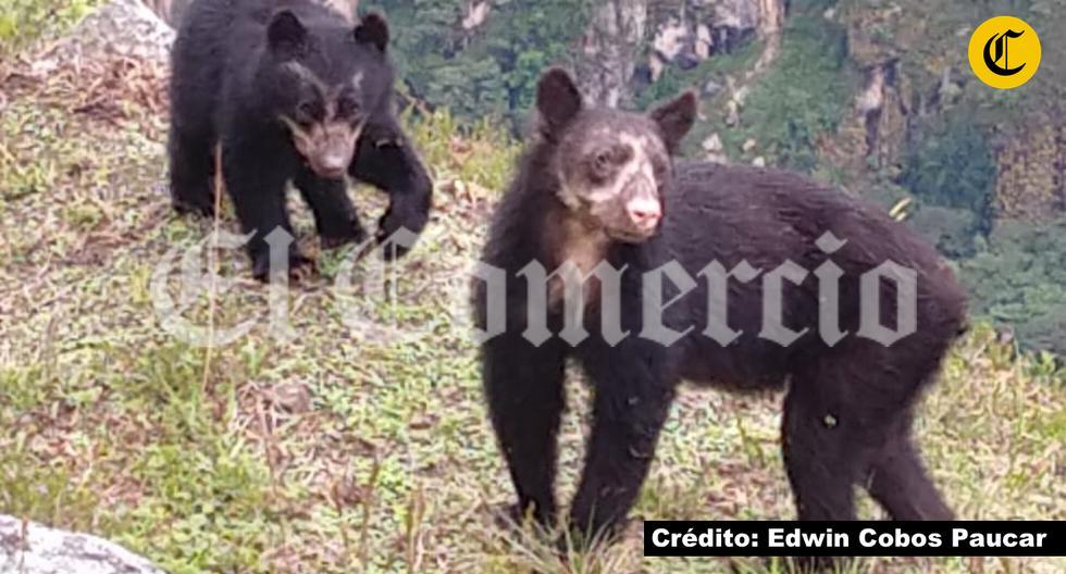 Los dos osos fueron registrados en imágenes.