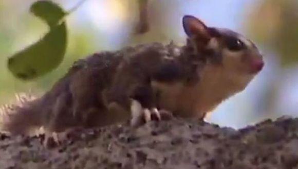 Descubren en Australia una nueva especie de marsupial