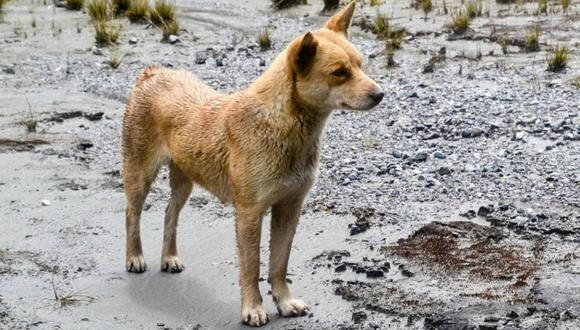 La última vez que un perro cantor de Nueva Guinea fue visto en estado salvaje fue en la década de 1970. (Foto: New Guinea Highland Wild Dog Foundation)