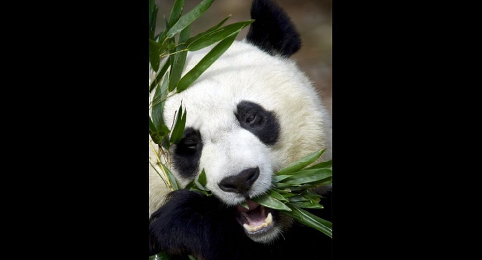 Tian Tian, la panda del Zoo de Edimburgo está embarazada