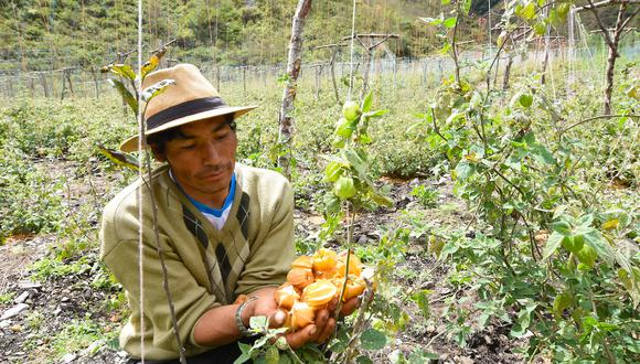 Ritcher Cárdenas es presidente de la Asociación de Agroexportadores Ukumari Paucartambo de Patanmarca dedicada al cultivo del aguaymanto. Su organización está inscrita en Registros Públicos desde 2016 y agrupa más de veinte agricultores. Foto: FZS Perú.