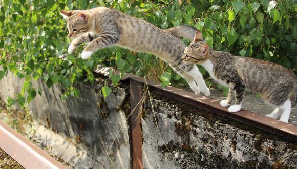 De alguna forma que permanece misteriosa para la comunidad científica, los gatos se las ingenian para caer de pie. (Foto: Pixabay)