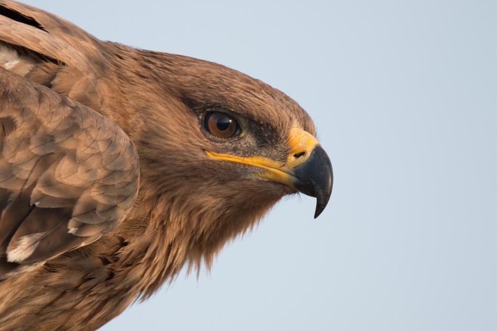 El seguimiento de las águilas de las estepas, que migran hacia África e India en invierno, permite anticipar potenciales peligros. (Fotos: Wikipedia/Referencial)