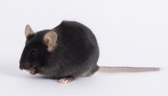 El ratón utilizado en la investigación del nuevo coronavirus se denominó k18-hACE2. [Foto: THE JACKSON LABORATORY (JAX)]
