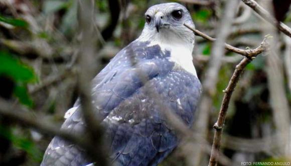 El gavilán dorsigris es un ave endémica de los bosques secos del norte de Perú.