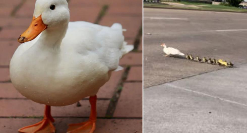 Los patos querían cruzar la calle y sin darse cuenta arriesgaron su vida. (Pixabay / YouTube: ViralHog)