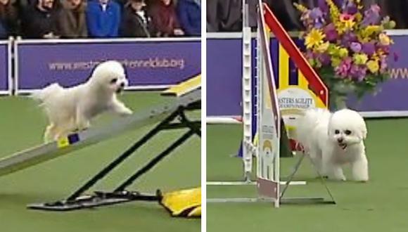 Esta perrita quedó en el último lugar de la competencia pero sin duda se ganó los corazones del público y las redes sociales. (Foto: Westminster Dog Show)