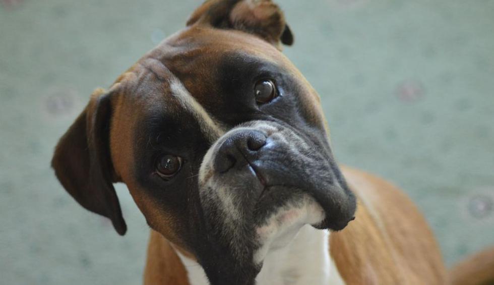 El accionar del perro generó diversas reacciones en YouTube. (Pixabay / boxerdogmadness)