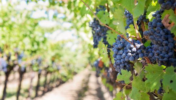 La uva, es el fruto bendito que le da origen a esta exquisita bebida perfecta para un brindis. (Foto: Pixabay)