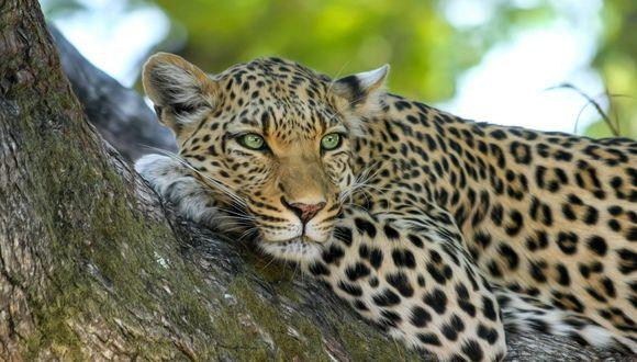 Leopardo que quería convertir a un mono en su presa, termina quedando en ridículo. (Foto: Pixabay / referencial)