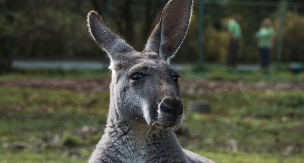 Muchos quedaron consternados al ver huir a los canguros. (Foto: Referencial - Pixabay)