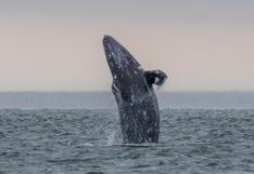 Extraña mortandad de 384 ballenas grises en costas de México, Estados Unidos y Canadá