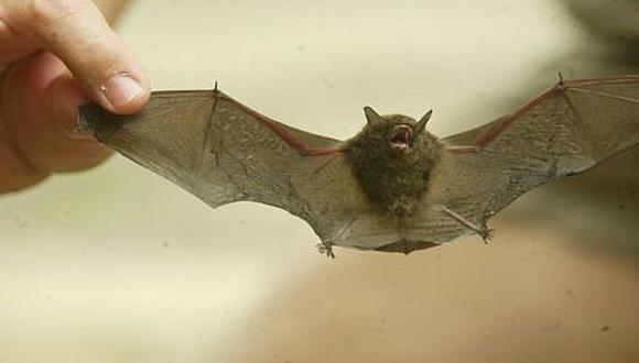 Loreto: evalúan emergencia en Napo tras ataques de murciélagos