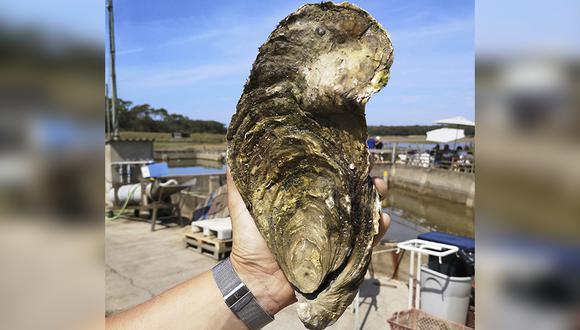 Una ostra gigante de 1,4 kilos encontrada en la costa atlántica de Francia. (AFP)