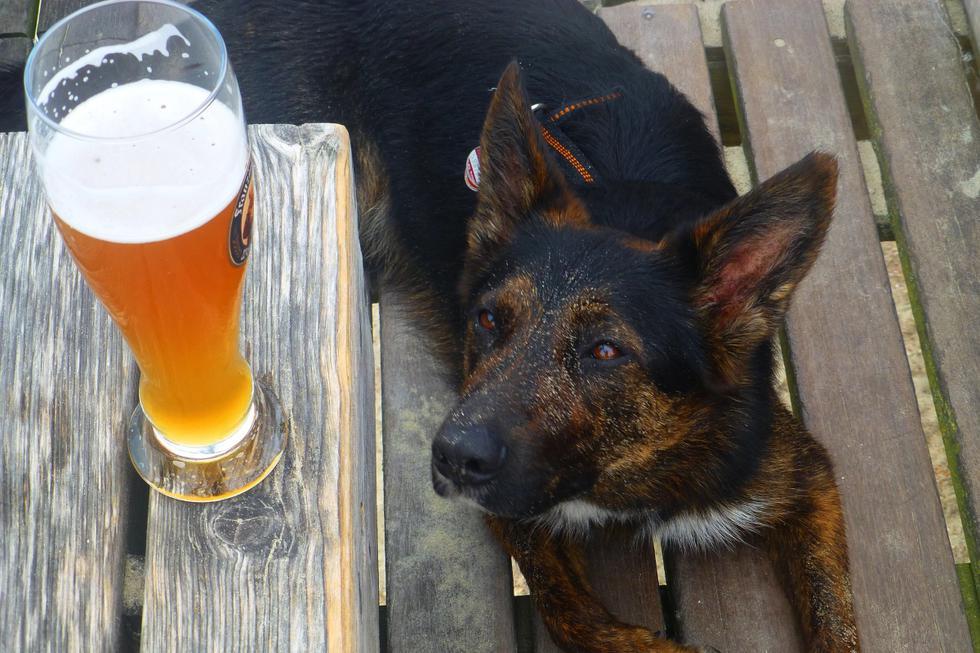 Esta empresa te regalará cerveza siempre y cuando adoptes a un perro. ¿Tu momento ha llegado? (Foto: Pixabay)
