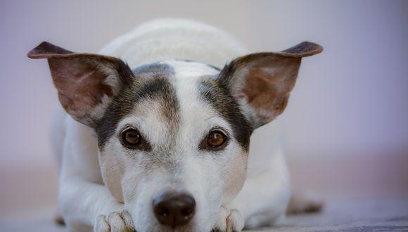 Un perro protagoniza peculiar berrinche al intentar querer que su dueño le haga caso. (Foto: Pixabay / referencial)