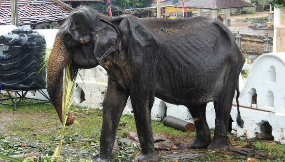 En esta foto de archivo, tomada el pasado 13 de agosto, se observa a Tikiri comiendo en el Templo de Tooth, ubicado en la ciudad central de Kandy. (AFP)