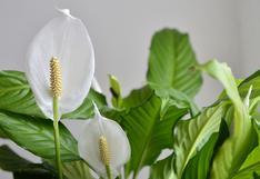 Diez plantas que irradiarán energía positiva en tu casa | FOTOS