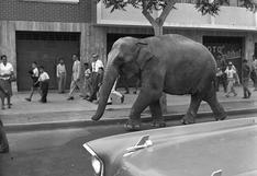 La historia de la elefanta de circo que decidió cruzar Lima para llegar al zoológico de Barranco