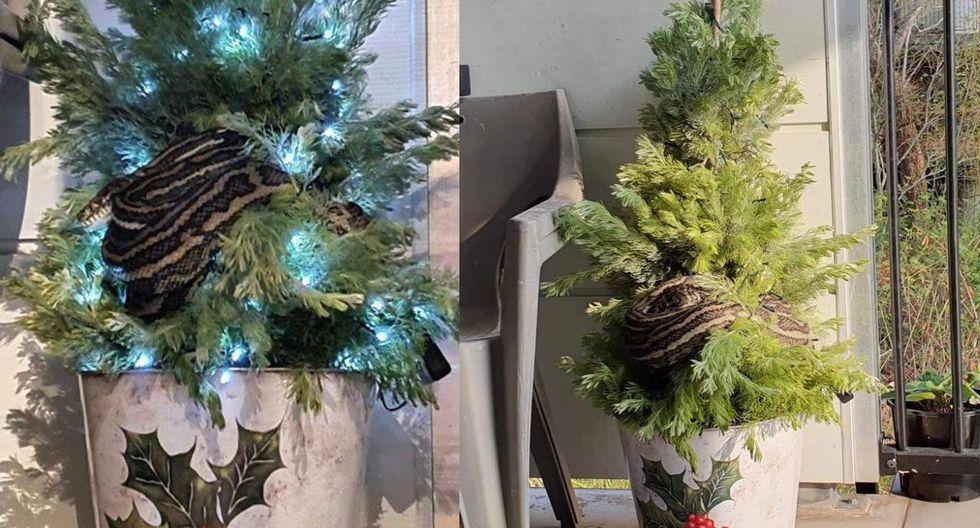 Pareja se lleva tremendo susto al encontrarse con una enorme pitón enroscada en su árbol de Navidad. (Foto: Twitter)