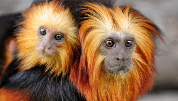 El mono león dorado tití es una de las especies amenazadas que puede perder su hábitat en caso el cambio climático termine de destruir su hábitat en Brasil. Foto: YouTube.