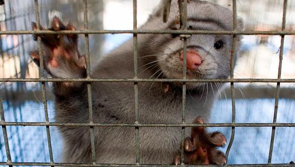 Por su facilidad para contraer distintos virus, los visones son animales que se usan en estudios de laboratorio.