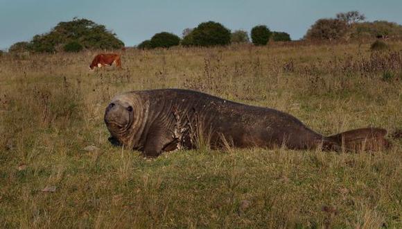 Apareció un elefante marino entre toros y vacas en un campo