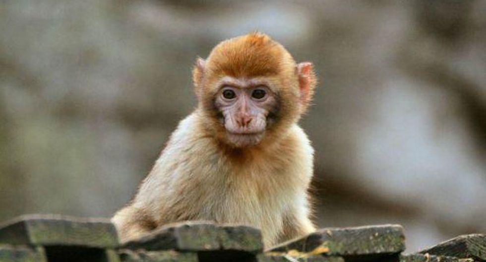 Macedonia: Roban monito de zoológico para regalárselo a su hija