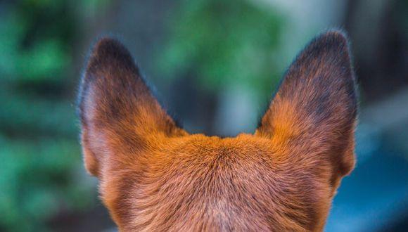 Al clonar canes veteranos, Pekín pretende mejorar en gran medida las cualidades de los animales. (Foto: Pixabay)