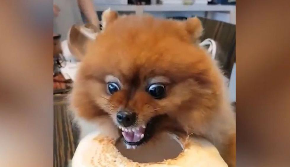 Este pequeño perro ha hecho reír a muchos usuarios de YouTube. (Captura)