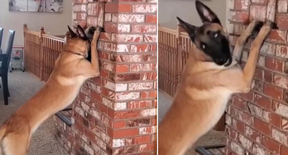 El perro esperó que su dueña se escondiera para luego ir a buscarla. (Instagram: omarvonmuller)