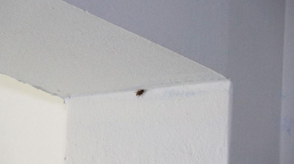 SJL: cierran cevichería por hallazgo de cucarachas - 7