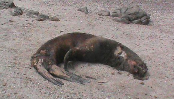 Lobos marinos y ballenas siguen varando en playas piuranas