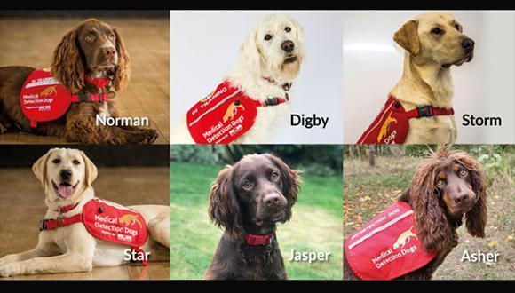 Éste es el equipo de perros que está siendo entrenado por adiestradores de la ONG Medical Detection Dogs, con ayuda de científicos ingleses. (Imagen: Facebook)
