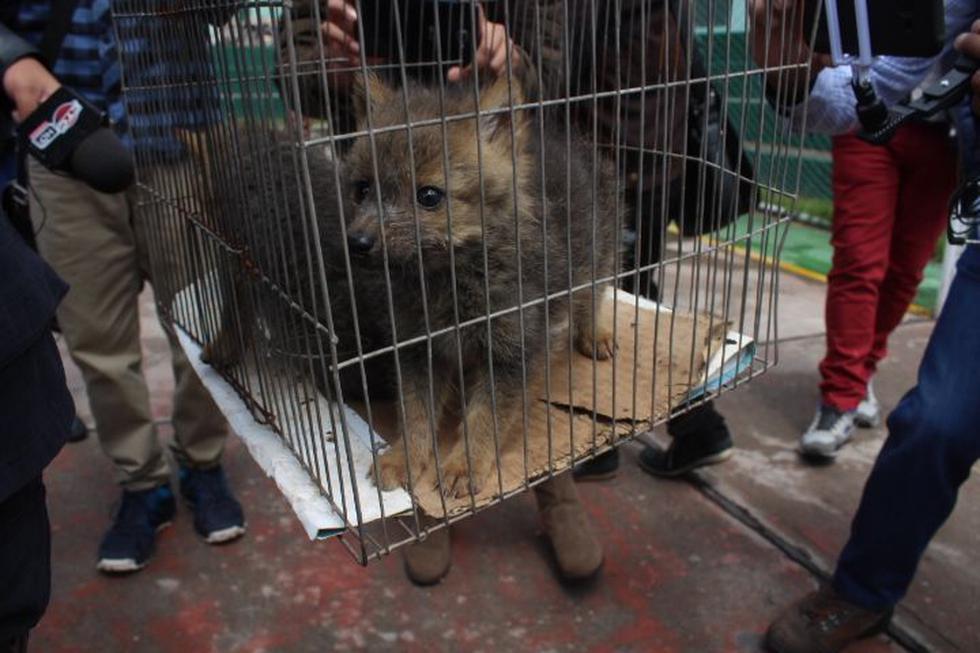 Cusco: PNP rescata a dos zorros andinos abandonados en mercado. (Foto: Miguel Neyra)