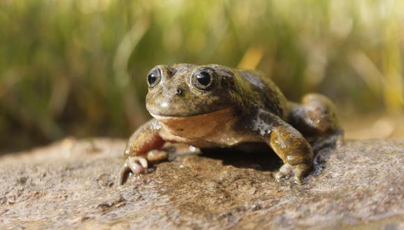 Este hongo ya se encuentra en 80 especies de ranas en el país. (Foto: Serfor)