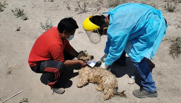 La Geresa de Arequipa informó que en lo que va del 2021 se han registrado 23 casos de rabia canina. (Foto: Geresa Arequipa)