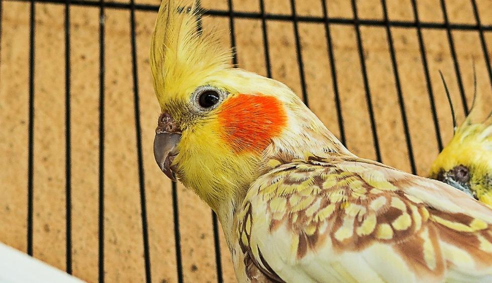 Las cacatúas ninfas son vistas como animales muy cariñosos. (Pixabay, YouTube)