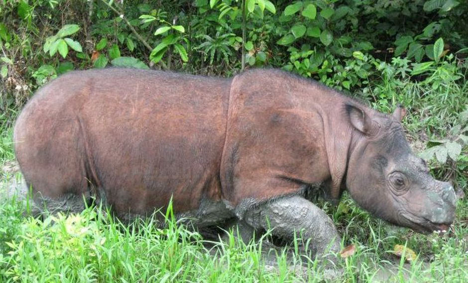 Tam falleció este 27 de mayo. (Foto: International Rhino Fundation)