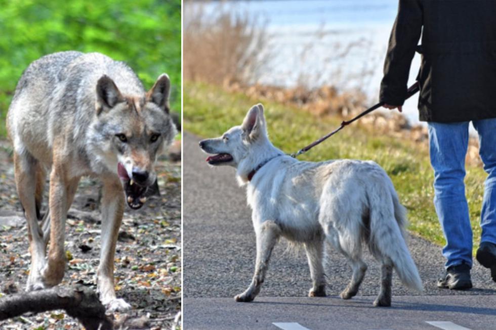 El hombre decidió sacar a pasear a su perro y en el camino vio cómo un lobo los acechaba. (Pixabay)