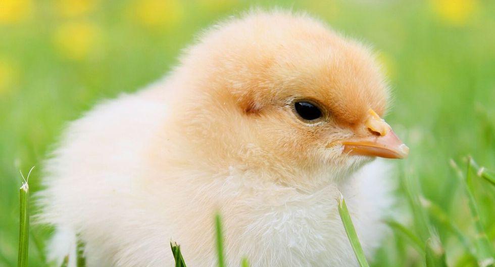 El video del pollo ha cautivado a numerosos usuarios en las redes. (Foto referencial: Pixabay)