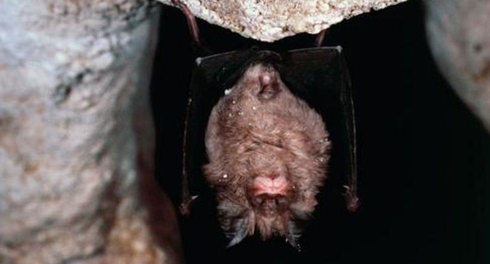 El murciélago grande de herradura chino (Rhinolophus ferrumequinum) es considerado el sospechoso #1 de ser el origen del brote de coronavaris de Wuhan. (Foto: Getty Images)
