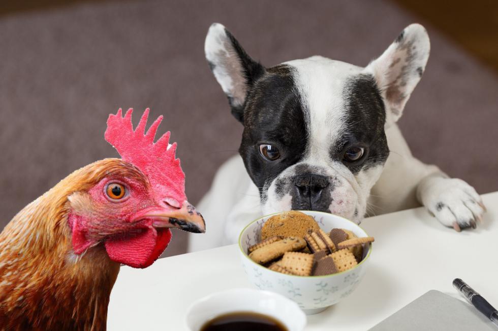 Un perrito y una gallina protagonizaron un robo de película que causa sensación en las redes sociales. (Foto: Pexels/Referencial)