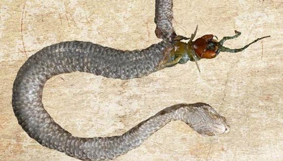 Una serpiente es devorada desde el interior por su presa