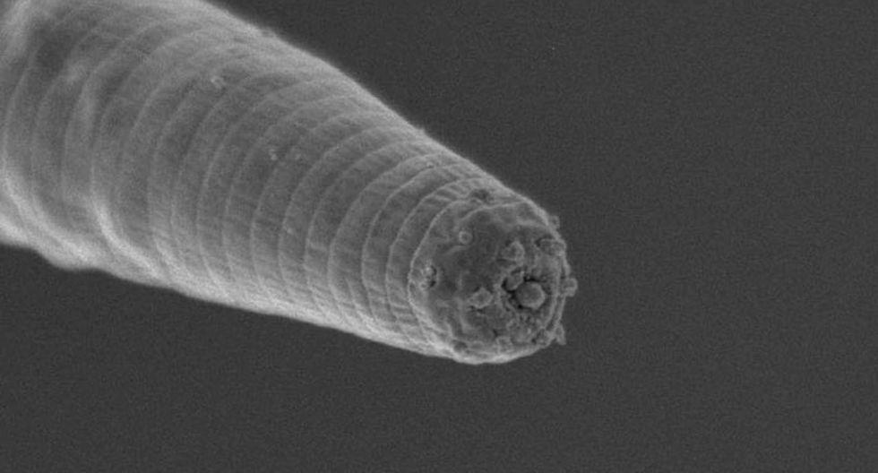 Halicephalobus mephisto . (Foto: Gaetan Borgonie)