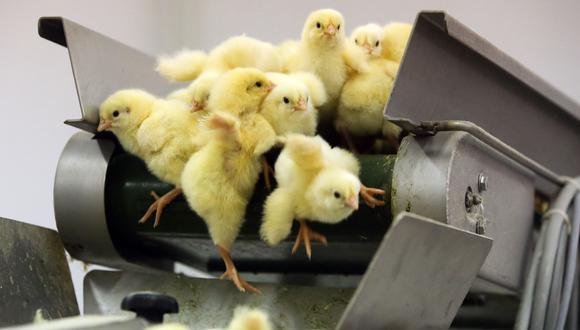 Suiza prohíbe triturar pollitos. (Foto referencial, Andrey Rudakov/Bloomberg).